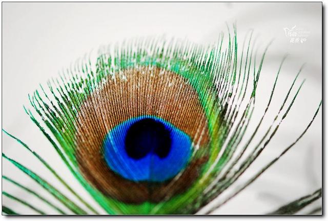 用ps做的一根孔雀羽毛透明素材