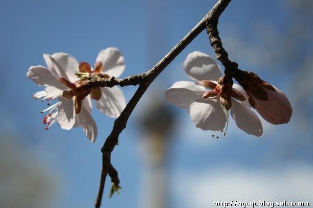 顺便进去拍了一些图片,樱花还没有开放,但已经有一些山桃花树已花枝