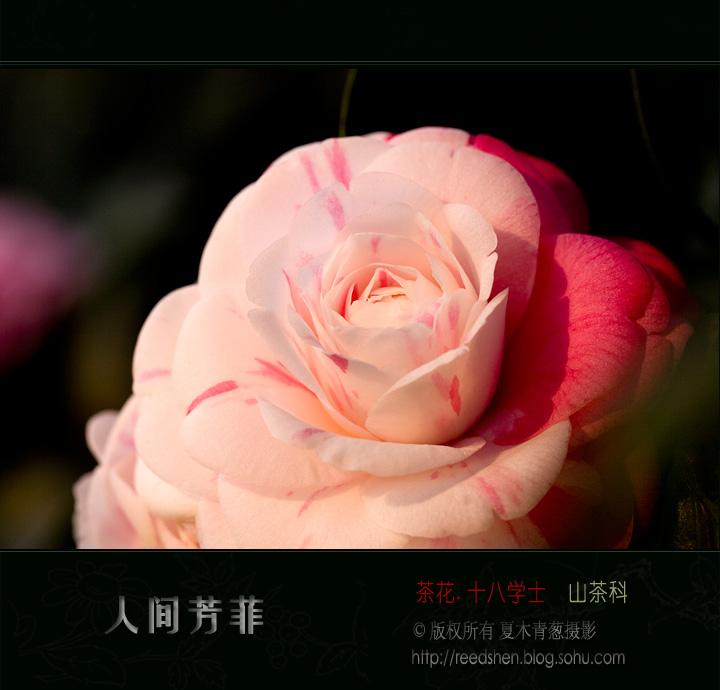 十八学士茶花_十八学士茶花福建省漳州美好茶花基地克瑞