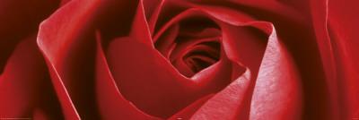 你 迟开的玫瑰 (原创现代诗)