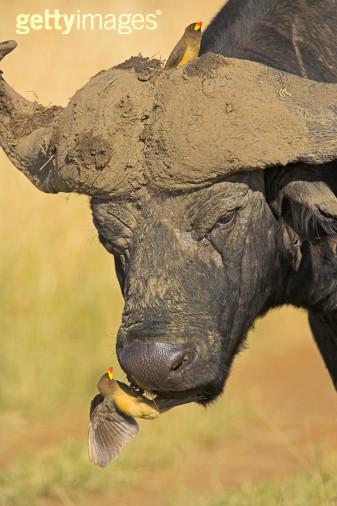 撼天动地(六)-----非洲水牛-动物的心我懂-搜狐博客