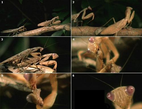 praying mantis position in sex
