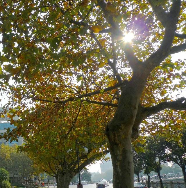 秋天的梧桐树图片_秋天的梧桐树_法国梧桐树图片 .