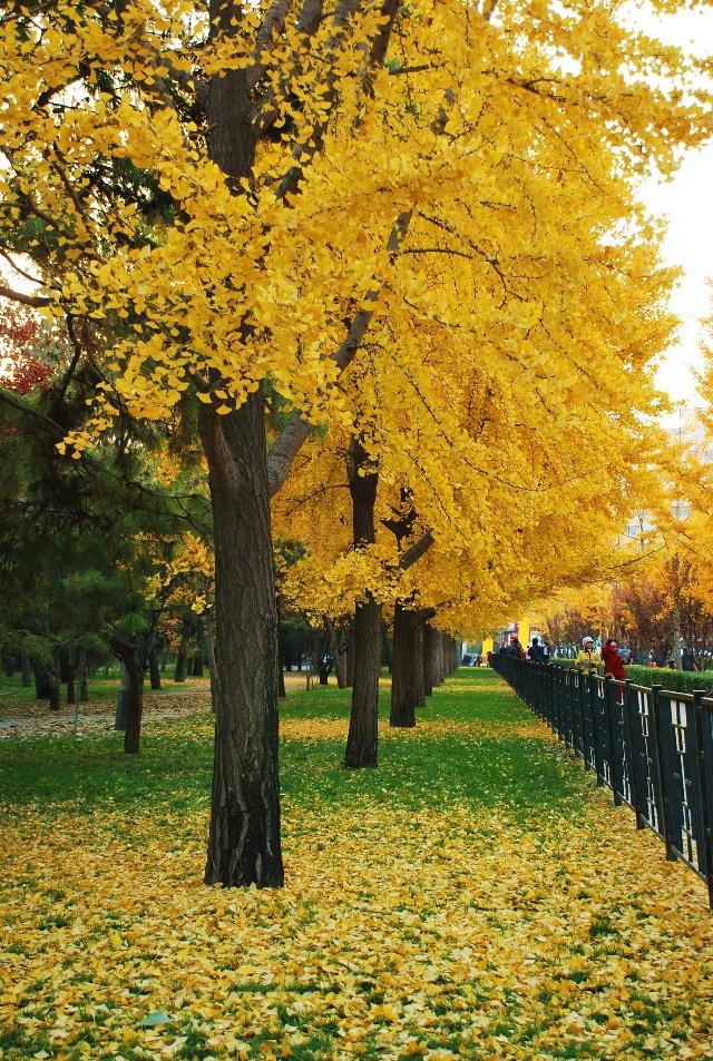 我爱秋天的银杏树,于是遐想,如果北京城把道路两边的那些一到春天