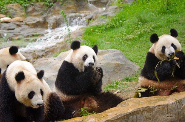 [组图]2010年大熊猫过端午吃粽子