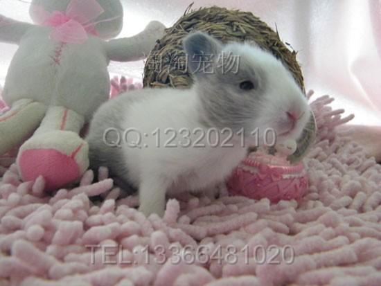 是世界上最小的兔子了