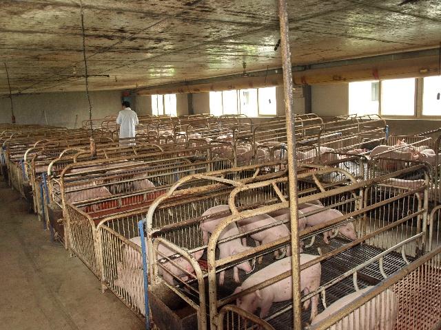 以向全省农村养殖专业户和饲养场提供优质种猪为主图片