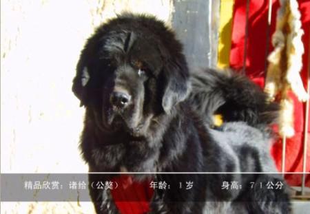 犬类动物世界的王者_藏獒(图文)