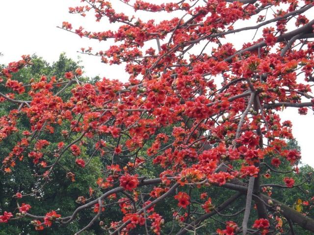 高挺耸立的木棉树,正如万绿丛中一点红.