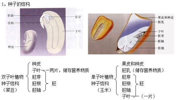 2,胚是幼小的生命体 二 种子的萌发 1、种子萌发的条件: 内部条件:胚是饱满完好的,处于非休眠期的种子。 环境条件:适宜的温度、一定的水分、充足的空气。 2 会计算种子的发芽率 。种子发芽率=已萌发种子数÷全部种子数×100% 三 了解植物生活需要量最多的无机盐是含氮的无机盐、含磷的无机盐、含钾的无机盐。 四、蒸腾作用 1,概念:植物体内的水分通过叶片上的气孔进入到空气中的过程。 2,意义: (1)可降低植物的温度,使植物不至于被灼伤 (2)是根吸收水分和促使水分在体内运输