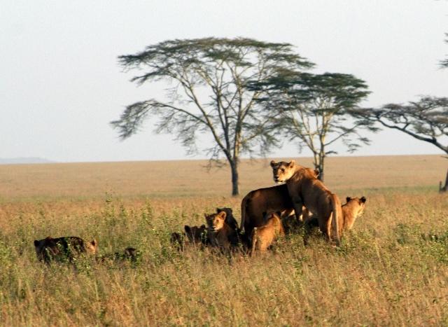 非洲野生动物园 - 百兽之王雄狮