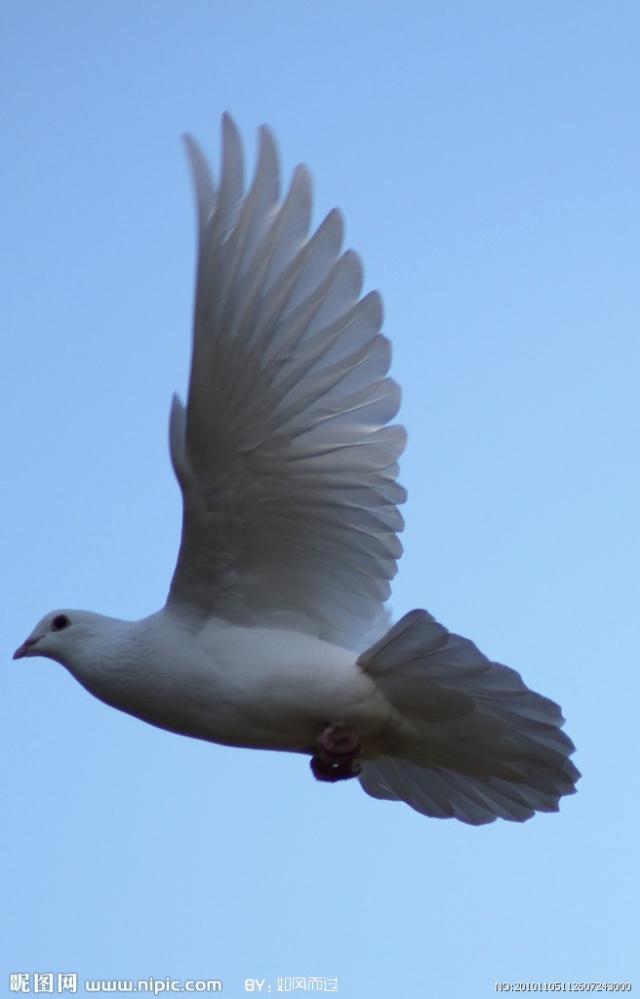展翅飞翔的白鸽·····&middot